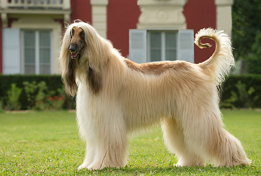 DOG 14 JE0060 01 © Kimball Stock Afghan Hound Standing In Grass By Estate