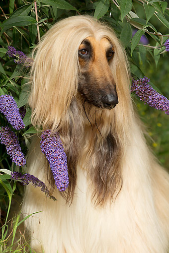 DOG 14 JE0061 01 © Kimball Stock Afghan Hound Portrait By Flowers