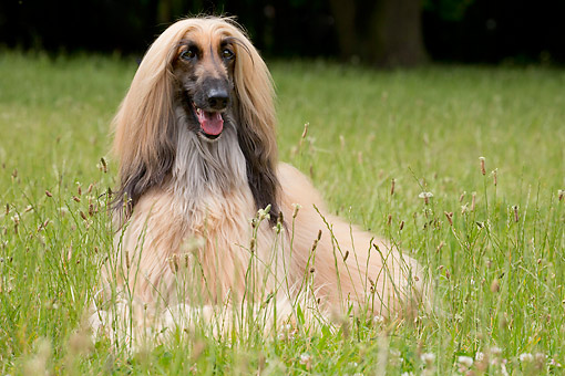 DOG 14 JE0063 01 © Kimball Stock Afghan Hound Laying In Tall Grass