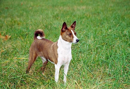 DOG 14 JN0001 01 © Kimball Stock Basenji Standing On Grass Field