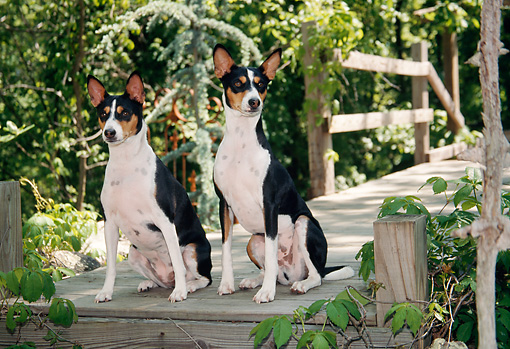 DOG 14 JN0002 01 © Kimball Stock Two Basenjis Sitting On Wooden Deck In Woods