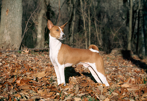 DOG 14 JN0003 01 © Kimball Stock Basenji Standing In Fallen Leaves In Woods