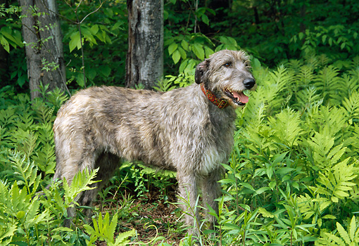 DOG 14 JN0007 01 © Kimball Stock Irish Wolfhound Standing In Brush