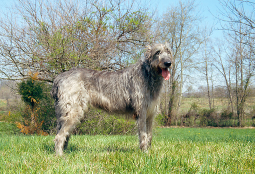 DOG 14 JN0008 01 © Kimball Stock Irish Wolfhound Standing On Grass Field