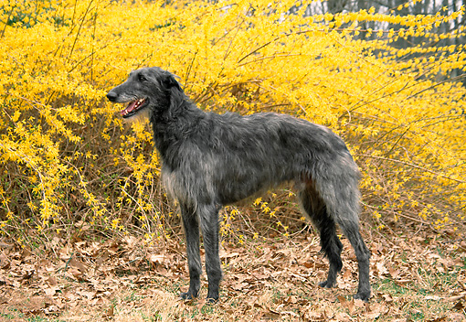 DOG 14 JN0009 01 © Kimball Stock Scottish Deerhound Standing On Fallen Leaves