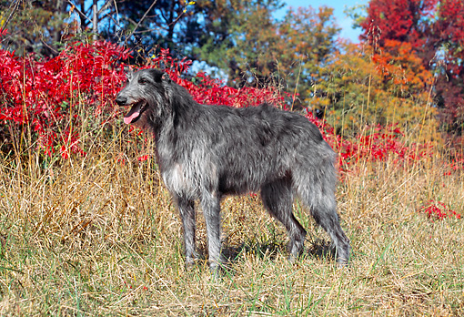 DOG 14 JN0010 01 © Kimball Stock Scottish Deerhound Standing On Grass By Autumn Leaves