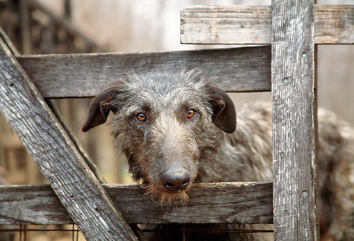 DOG 14 JN0011 01 © Kimball Stock Scottish Deerhound Peeking Head Through Wooden Fence