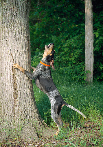 DOG 14 JN0012 01 © Kimball Stock Bluetick Coonhound Barking Up Tree