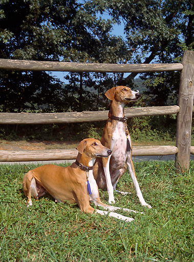 DOG 14 JN0014 01 © Kimball Stock Two Azawakhs On Grass By Wooden Fence