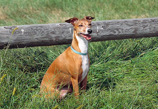 DOG 14 JN0015 01 © Kimball Stock Italian Greyhound Sitting On Grass By Wooden Fence