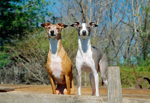 DOG 14 JN0017 01 © Kimball Stock Two Italian Greyhounds Standing On Wooden Deck