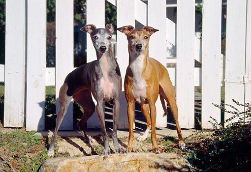 DOG 14 JN0018 01 © Kimball Stock Two Italian Greyhounds Standing By White Fence