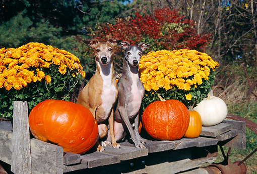 DOG 14 JN0019 01 © Kimball Stock Two Italian Greyhounds Sitting By Pumpkins And Gold Flowers