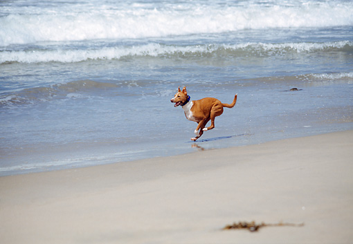DOG 14 JN0021 01 © Kimball Stock Basenji Running On Beach