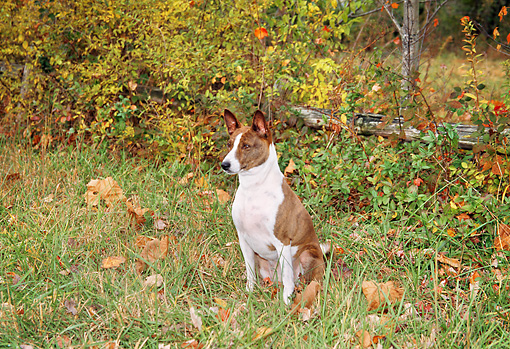 DOG 14 JN0023 01 © Kimball Stock Basenji Sitting On Grass By Fallen Leaves