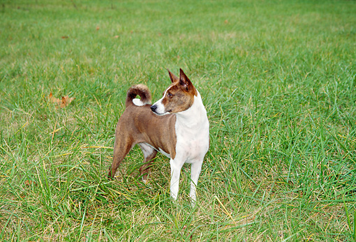 DOG 14 JN0024 01 © Kimball Stock Basenji Standing On Grass Field