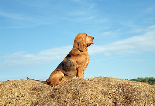 DOG 14 JN0025 01 © Kimball Stock Bloodhound Sitting On Hay Bale