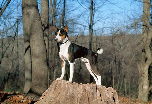 DOG 14 JN0026 01 © Kimball Stock Basenji Standing On Stump In Woods