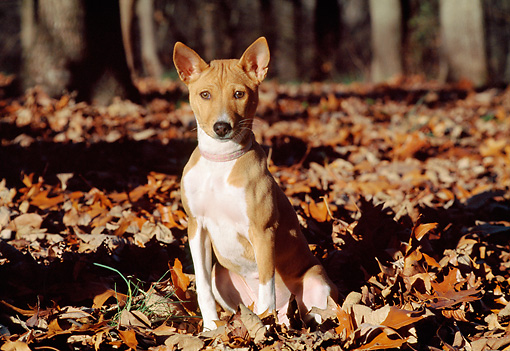 DOG 14 JN0027 01 © Kimball Stock Basenji Sitting In Fallen Leaves