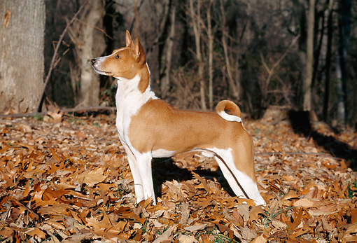 DOG 14 JN0028 01 © Kimball Stock Basenji Standing In Fallen Leaves In Woods
