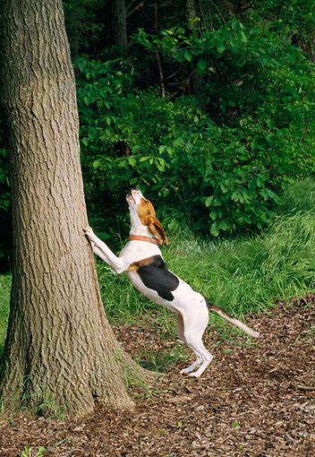 DOG 14 JN0030 01 © Kimball Stock Treeing Walker Coonhound Barking Up Tree