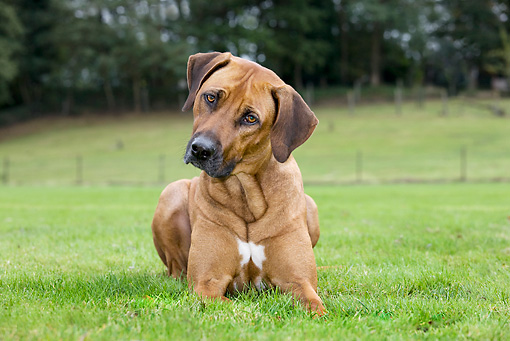 DOG 14 JS0001 01 © Kimball Stock Rhodesian Ridgeback Laying In Grass Field