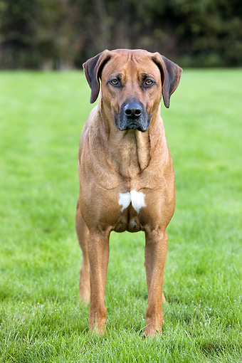 DOG 14 JS0002 01 © Kimball Stock Rhodesian Ridgeback Standing In Grass Field