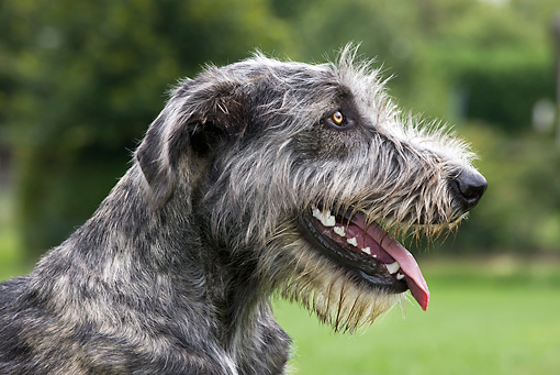 DOG 14 JS0005 01 © Kimball Stock Head Shot Of Irish Wolfhound Sitting In Grass Field