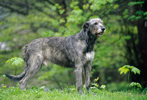 DOG 14 KH0045 01 © Kimball Stock Irish Wolfhound Standing On Grass Profile