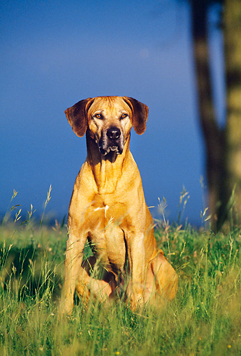 DOG 14 KH0047 01 © Kimball Stock Rhodesian Ridgeback Sitting In Tall Grass
