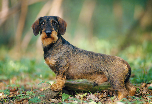 DOG 14 KH0048 01 © Kimball Stock Teckel Dachshund Standing In Forest Profile