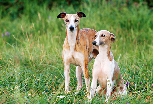 DOG 14 KH0050 01 © Kimball Stock Whippets Standing And Sitting In Grass Field