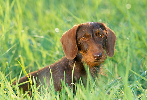 DOG 14 KH0053 01 © Kimball Stock Wirehaired Dachshund Sitting In Grass