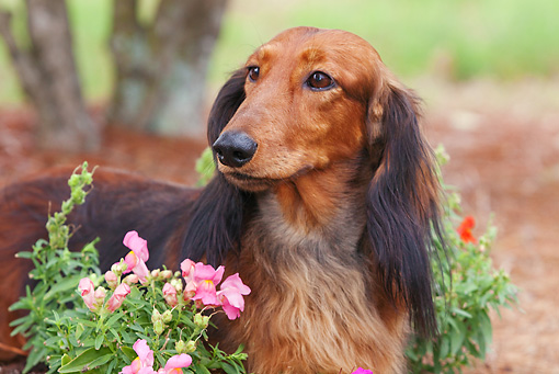 DOG 14 LS0002 01 © Kimball Stock Close-Up Of Longhair Dachshund Standing By Flowers