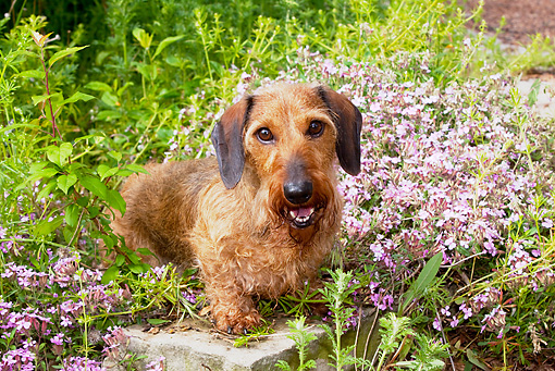 DOG 14 LS0004 01 © Kimball Stock Wirehaired Dachshund Standing On Stone By Purple Flowers