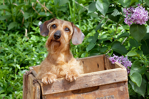 DOG 14 LS0005 01 © Kimball Stock Wirehaired Dachshund Peeking Out Of Wooden Box In Garden