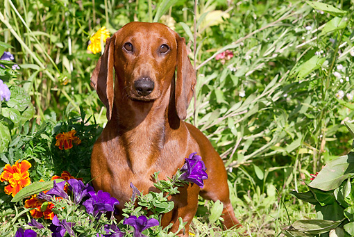 DOG 14 LS0007 01 © Kimball Stock Dachshund Standing In Purple And Orange Flowers