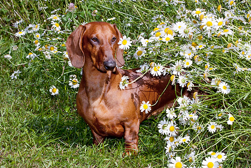DOG 14 LS0008 01 © Kimball Stock Dachshund Standing On Grass By Daisies