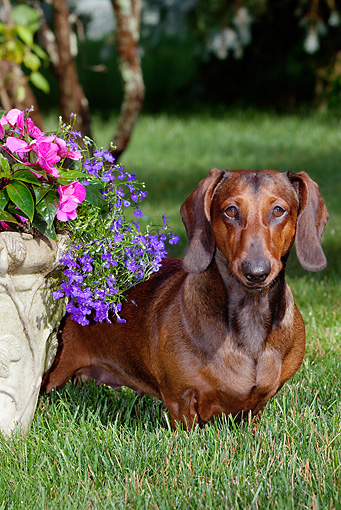 DOG 14 LS0009 01 © Kimball Stock Dachshund Standing On Grass By Flower Planter