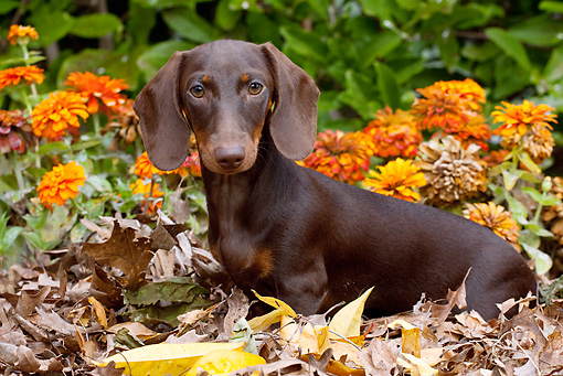 DOG 14 LS0010 01 © Kimball Stock Dachshund Sitting In Leaves By Orange Chrysanthemums