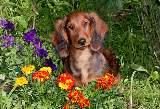 DOG 14 LS0012 01 © Kimball Stock Long-Haired Standard Dachshund Sitting In Marigolds