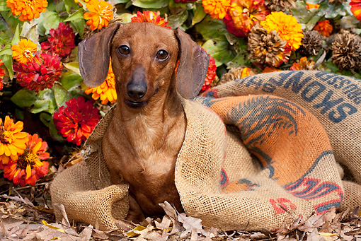 DOG 14 LS0013 01 © Kimball Stock Tan Mini Dachshund Sitting In Burlap Feed Bag By Orange Zinnias