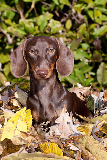 DOG 14 LS0014 01 © Kimball Stock Miniature Dachshund Sitting In Autumn Leaves