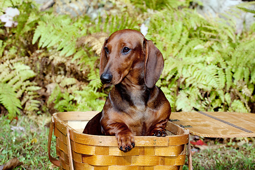 DOG 14 LS0015 01 © Kimball Stock Dachshund Sitting In Picnic Basket Among Ferns