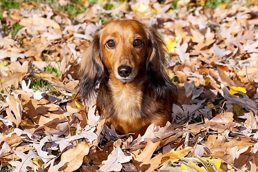 DOG 14 LS0016 01 © Kimball Stock Miniature Longhair Dachshund Laying In Oak Leaves