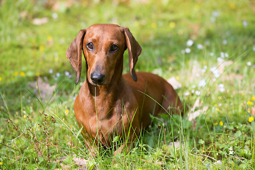 DOG 14 LS0017 01 © Kimball Stock Portrait Of Smooth-Haired Dachshund Sitting On Grass
