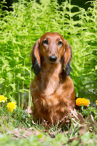 DOG 14 LS0018 01 © Kimball Stock Portrait Of Long-Haired Dachshund Sitting On Grass
