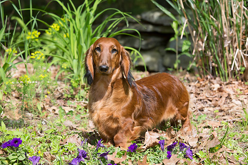 DOG 14 LS0019 01 © Kimball Stock Long-Haired Dachshund Standing In Grass