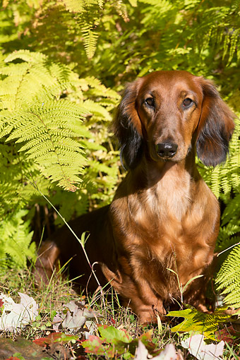 DOG 14 LS0022 01 © Kimball Stock Longhaired Standard Dachshund Nestled In Ferns