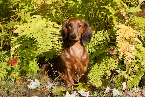 DOG 14 LS0023 01 © Kimball Stock Longhaired Standard Dachshund Draped In Ferns